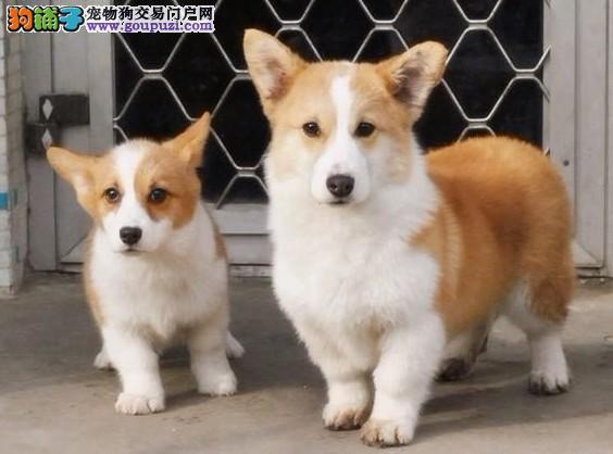 哈尔滨 哪里有柯基犬出售柯基价格是多少1