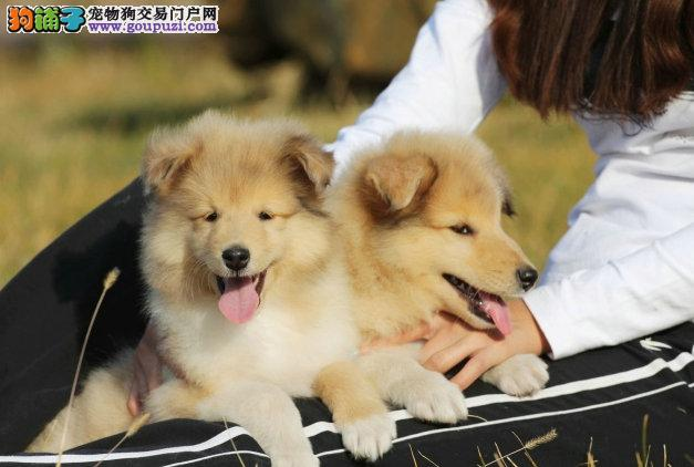l兰州市纯种健康专业狗场繁殖 签协议 可送货上门