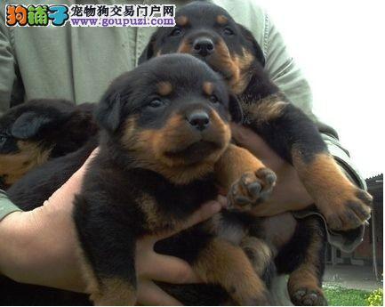 京义犬业顶级防暴犬罗威那双冠血统疫苗齐~起售中质保