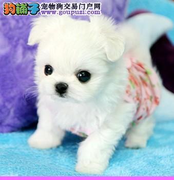 南京茶杯犬/茶杯袖珍/茶杯狗狗/茶杯幼犬/纯种茶杯犬3