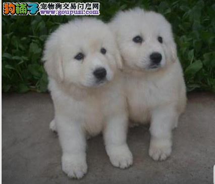 CKU认证纯种大白熊幼犬出售保健康4