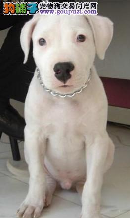 自家繁殖的纯种杜高犬找主人品质保障可全国送货