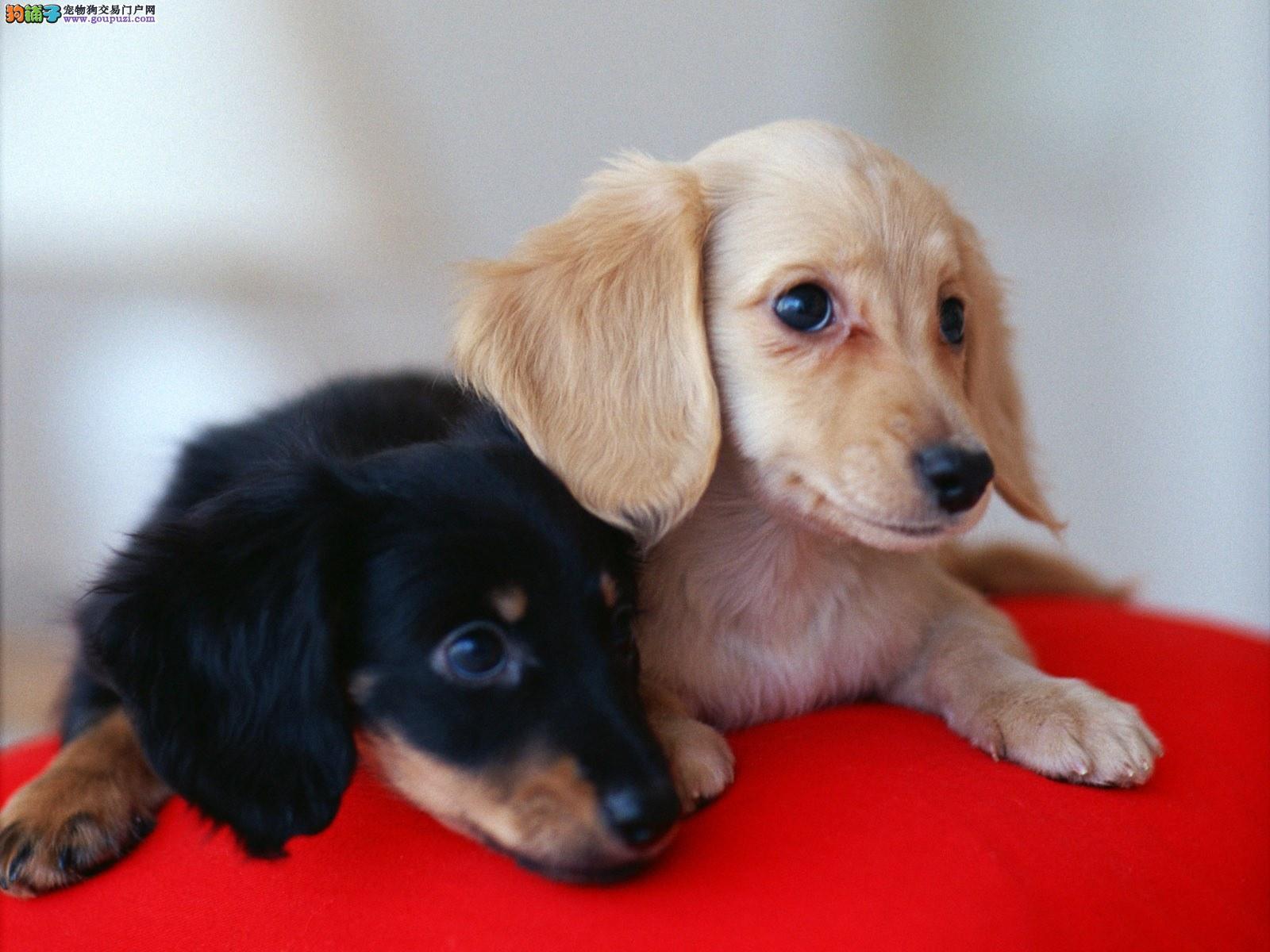 多种颜色的赛级腊肠犬幼犬寻找主人保证冠军级血统