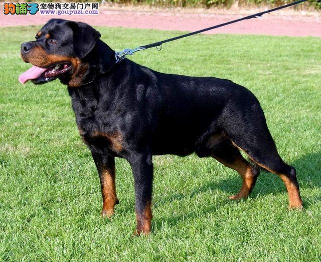 郑州纯种德系罗威纳犬改良幼犬多只出售选择多可视频4