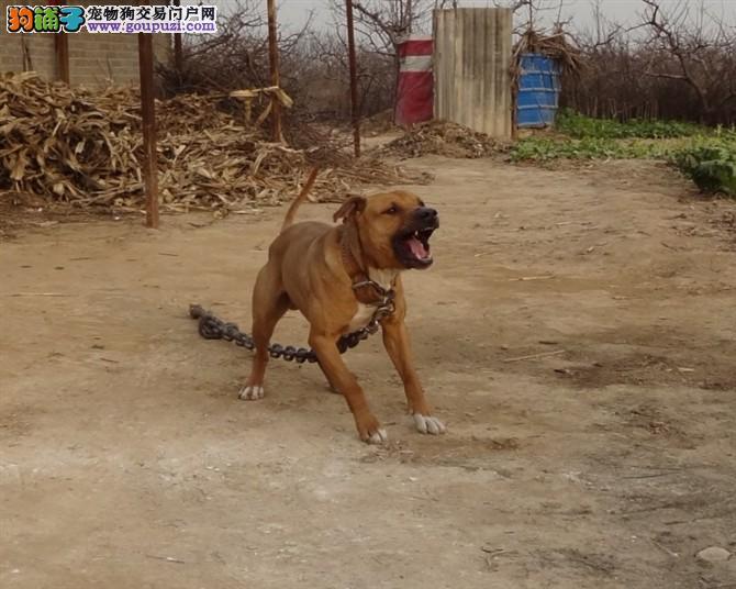 北京市出售纯种美国比特犬 血统纯种 身体强壮