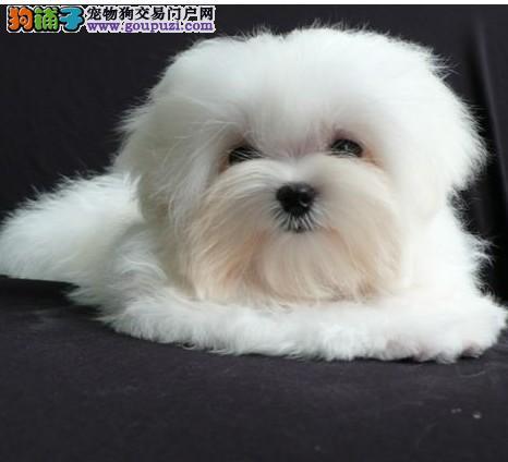 出售娇小迷人高贵韩系的马尔济斯幼犬宝宝