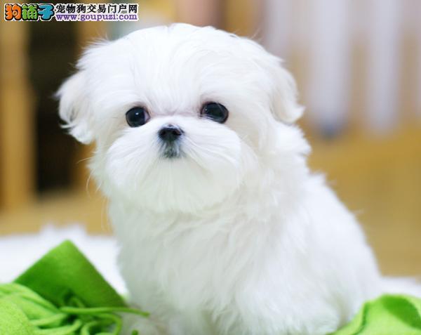 长沙实体店出售精品马尔济斯保健康微信咨询看狗狗照片