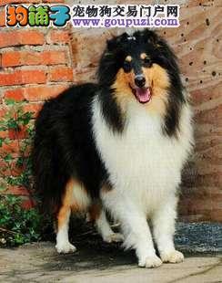 广州哪里有卖苏格兰牧羊犬 苏牧犬什么价格