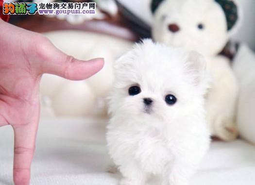 茶杯型贵宾犬可爱纯种,高智商漂亮乖巧 可上门挑选3