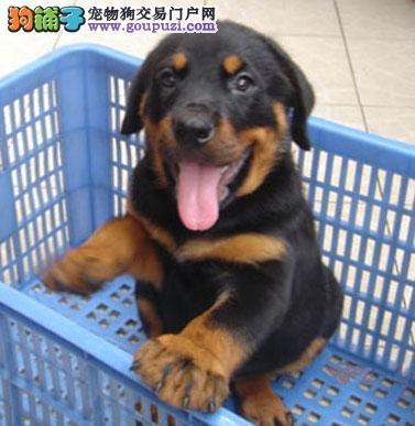 富贵之家出售罗威那幼犬,喜欢的朋友来看看2