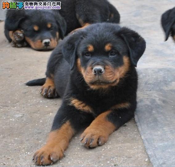 出售纯种罗威纳幼犬疫苗驱虫做完
