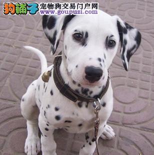 斑点狗张掖CKU认证犬舍自繁自销国际血统证书