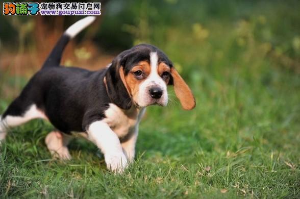 吐鲁番售缉毒犬比格犬米格鲁猎兔犬疫苗驱虫已做可视频
