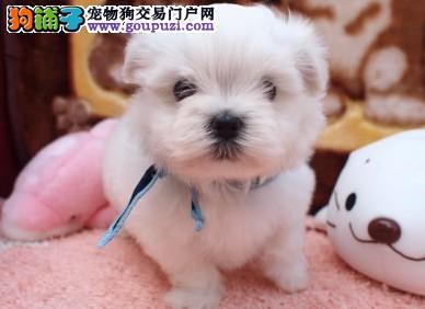 出售聪明伶俐马尔济斯品相极佳欢迎爱狗人士上门选购
