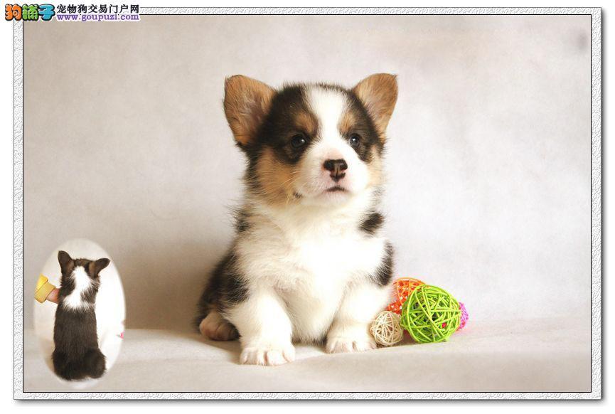 同城免费送货上门广州出售小短腿胖嘟嘟健康纯种柯基犬