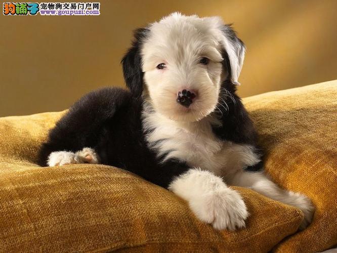 CKU认证出售大白头英国古代牧羊犬