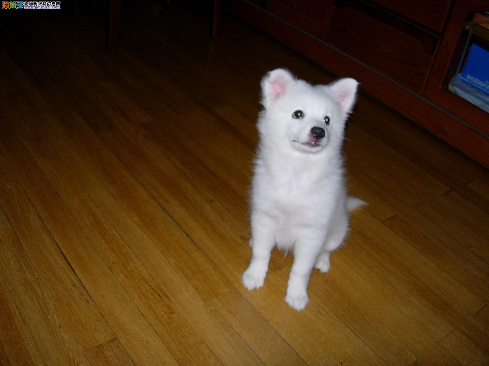 如何训练银狐犬成为我们优秀的小助手