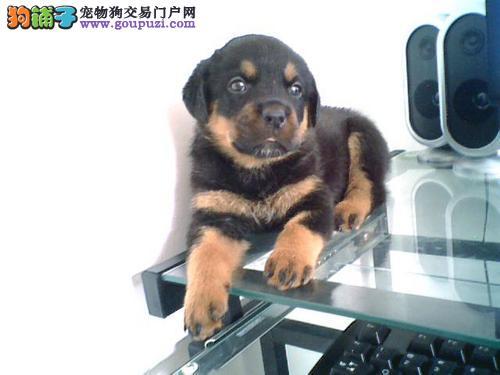 长春宽嘴罗威纳 英勇忠诚护卫犬 可训性和服从性极强