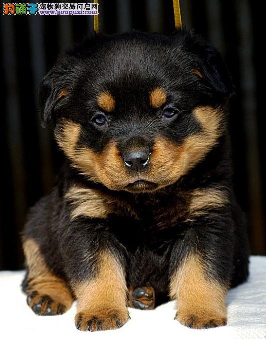 北京猛犬罗威纳幼犬出售 大头宽嘴吧 公母可选 疫苗齐