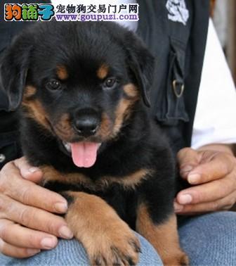 出售高品质健康纯种罗威纳幼犬保三年