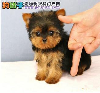 出售约克夏幼犬 注射芯片颁发证书 等您接它回家