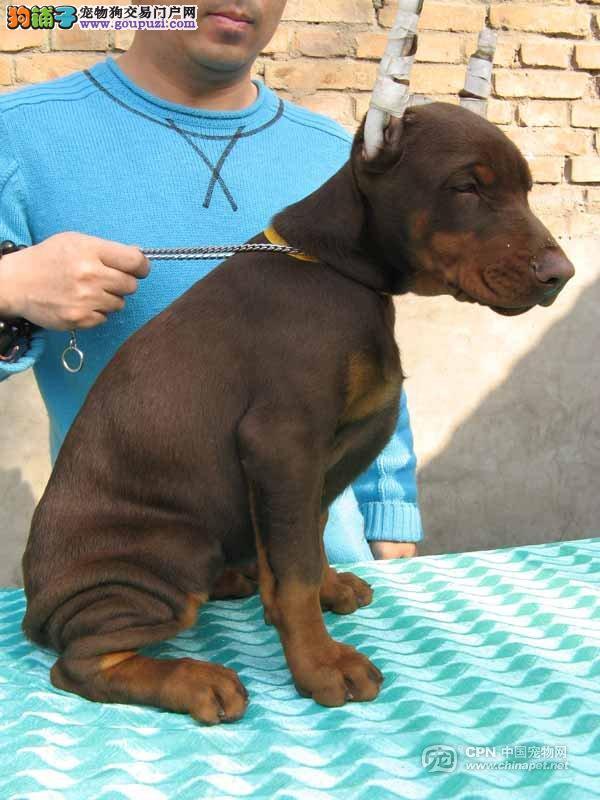 精品赛级杜宾犬,纯种健康品相优良,质保全国送货