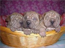 深圳专业繁殖沙皮幼犬血统纯品相好保健康欢迎看狗