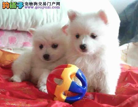 出售纯种银狐犬,CKU认证犬舍,三包终生协议