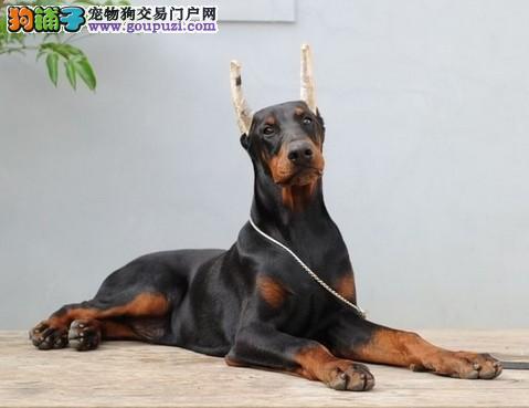 实物拍摄的兰州杜宾犬找新主人兰州地区可包邮