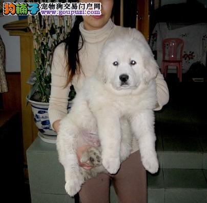 大白熊犬/因形似北极熊而出名的大白熊犬
