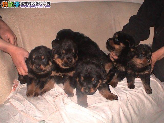 山东济南常年出售自家养纯种德系罗威纳幼犬~成犬~1