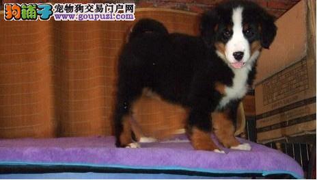 文昌纯种伯恩山幼犬高大很威猛,小狗骨架很好