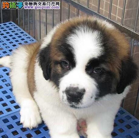 极品圣伯纳幼犬,真实照片保纯保质,签协议可送货
