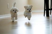 出售西高地幼犬品质好有保障假一赔万签活体协议