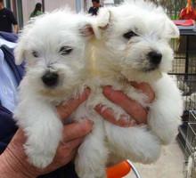 迷你西高地白梗幼犬纯白色的宠物狗健康可爱