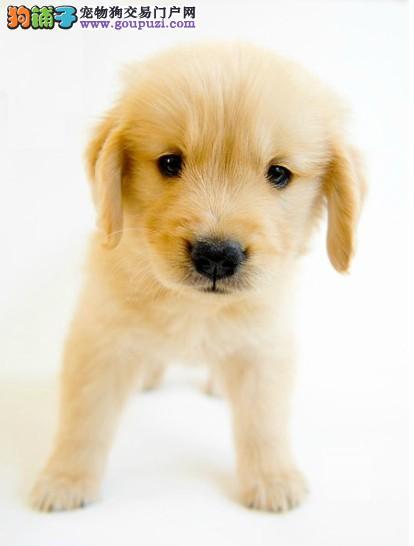出售黄金猎犬品相的济南金毛犬 保证品质终身免费售后