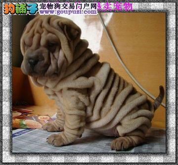 颜色全品相佳的沙皮狗纯种宝宝热卖中品质优良诚信为本
