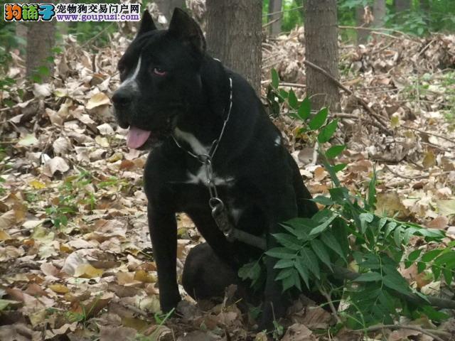 最佳护卫犬卡斯罗 保证纯种 并且驱虫免疫均完成1