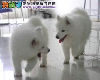 济南正规养殖基地哪里有卖雪白色的萨摩耶幼犬 品相超级好