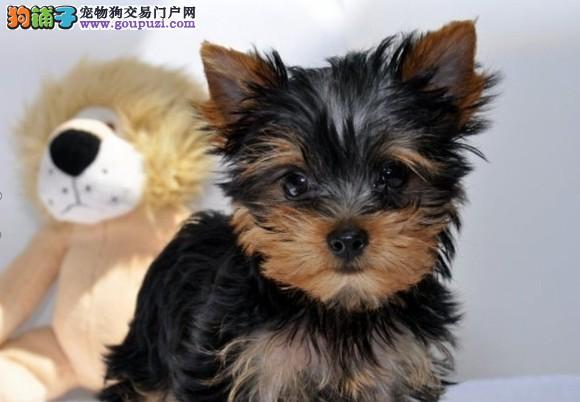 佛山出售约克夏幼犬 保纯保健康 可签订质保协议