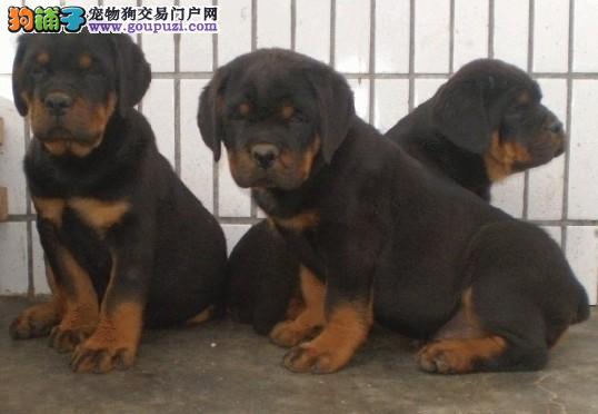 特价宠物犬出售 100%健康 纯种罗威纳 幼犬 可上门2