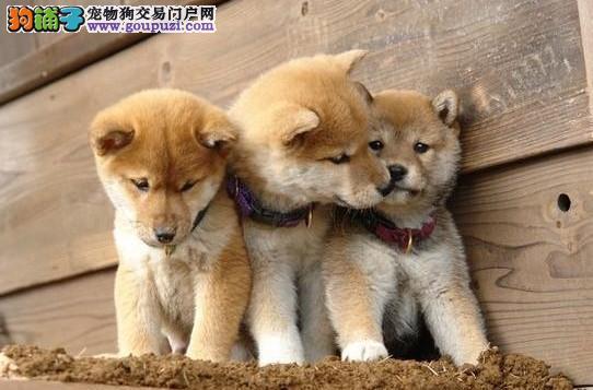 柴犬秋田,多窝,健康,忠诚,帅气,无比活跃,可看大狗