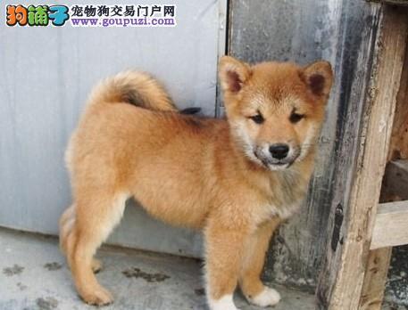 售顶级日本柴犬佳木斯狗场直销当场检验健康纯种双血统
