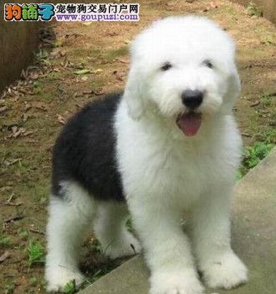 南京哪里出售古牧 古代牧羊犬出售 古牧照片1