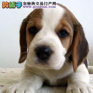 上海售精品比格犬 米格鲁猎兔犬幼犬公母全有
