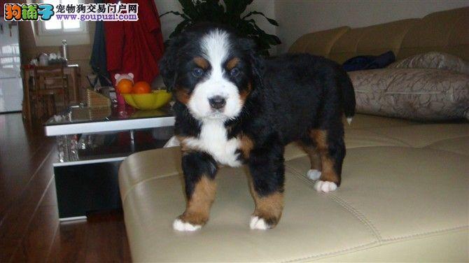 北京市伯恩山犬出售正规犬舍直销健康幼犬拒绝星期狗