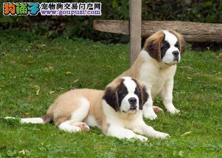 圣伯纳幼犬出售购买签质保合同