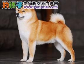 西安精品柴犬出售赤色柴犬纯正日本小柴正规养殖场靠谱