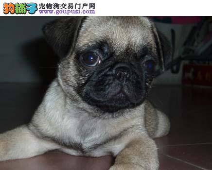 巴哥犬最大的正规犬舍完美售后微信咨询看狗
