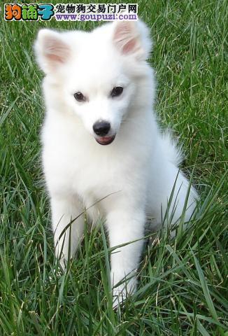 济南实体店低价促销赛级银狐犬幼犬最优秀的售后